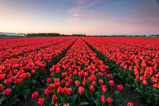 View of tulip field during sunrise