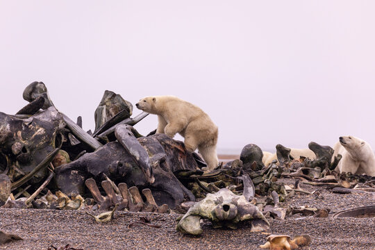 View of polar bear on whale bone pile looking for food