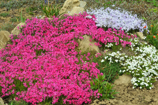 Phlox subulata blooms on the flowerbed