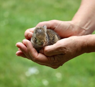 tiny bunny rabbit in hands.   reiki for animals.