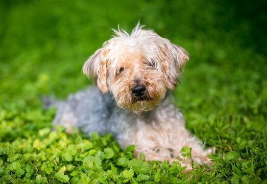 A Yorkshire Terrier x Poodle mixed breed dog lying down in the grass