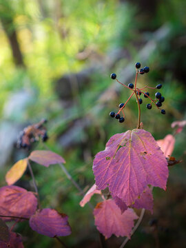 Close-up image of Mapleleaf viburnum or maple-leaved arrowwood with blackberries in the autumn woods