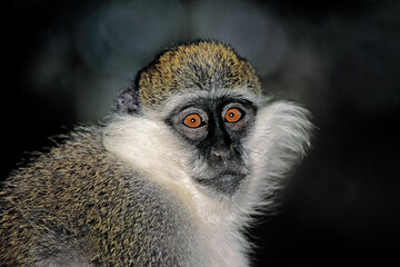 Portrait of a grivet or savannah monkey (Chlorocebus aethiops), Ethiopia.