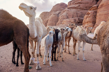 Group of camels with their small calves walking in Wadi Rum desert, closeup wide angle detail