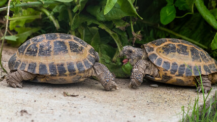 Pair of Small Tortoise's Face to Face Wall mural