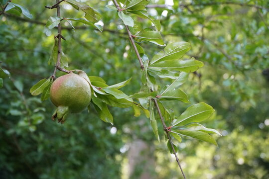 background with green pomegranade on tree
