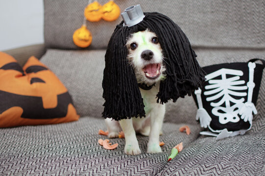 Funny jack russell dog celebrating halloween with a hairy diy dig playing with its owner on sofa. Lifestyle.