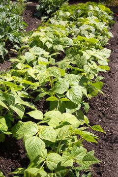 Tabakpflanzen (Nicotiana tabacum) im Beet einer Tabakplantage