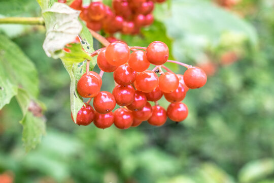 Viburnum fruits. Red coral fruits to a garden. Small decorative tree with red fruits