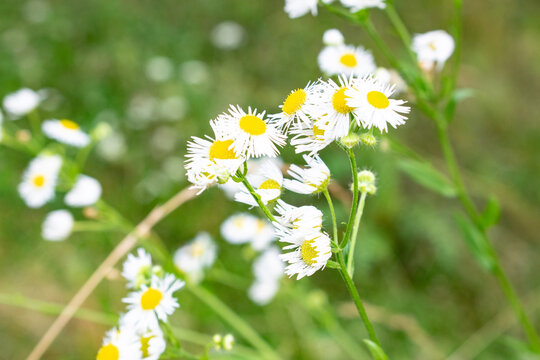 Erigeron flowers also known as Eastern daisy fleabane