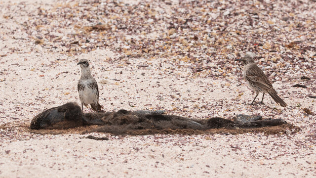 Espanola mockingbird with a dead baby sealion