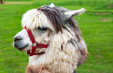 Young llama close-up on the background of a green meadow in Latvia