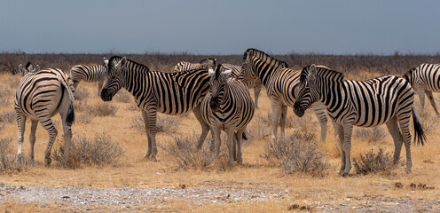 zebras in the savannah