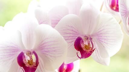 Fototapeta Storczyki odmiany falenopsis, to najpopularniejszy storczyk doniczkowy. obraz