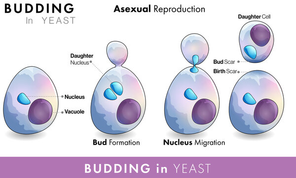 Budding in Yeast vector illustration. Asexual reproduction Saccharomyces. infographic of yeast bud formation with nucleus vacuole.