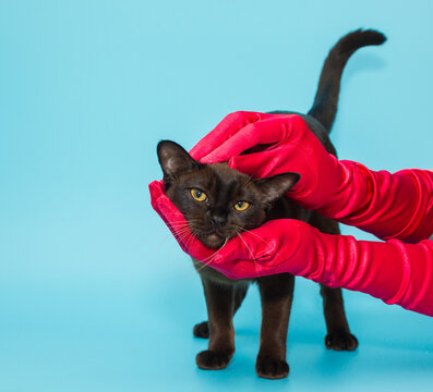 American Burmese and women's hands in red gloves