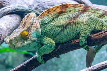 The Parson's chameleon (Calumma parsonii) is a large species of chameleon, a lizard in the family Chamaeleonidae. It is endemic to Madagascar.