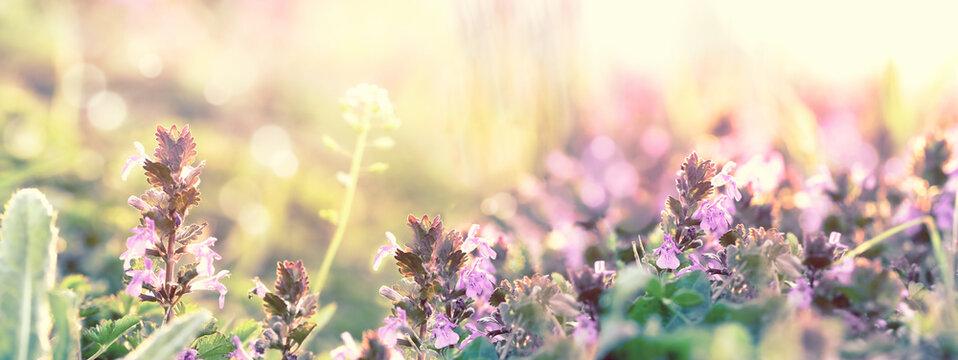 Purple flower, flowering beautiful spring meadow flowers