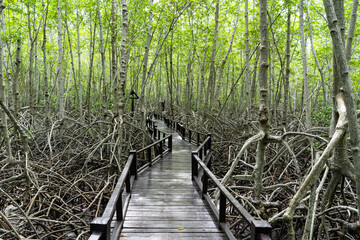 Wooden path in mangrove tropical rain forest