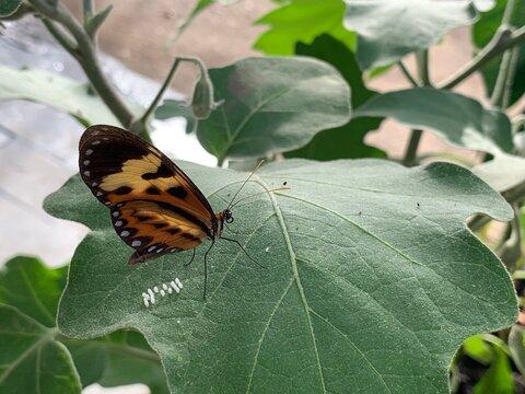 Monarch butterfly dot eggs on leaf