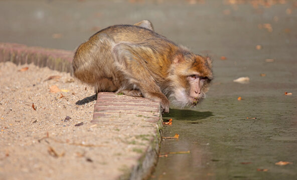 Macaque monkey drinking from the creek