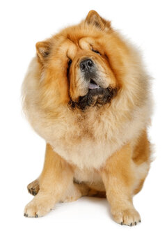 Chinese chow chow dog isolated on a white background