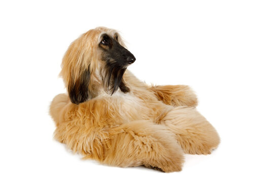 Red haired Afghan Greyhound dog isolated on white background