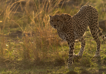 Wall Mural - A drenched Cheetah in the evening light in the grasses at Masai Mara, Kenya