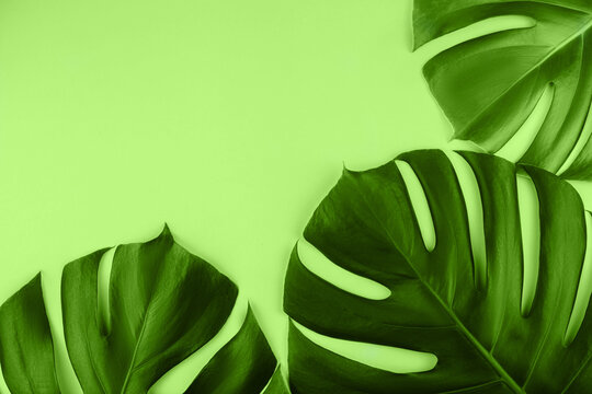 Three tropical jungle monstera leaves isolated on green.