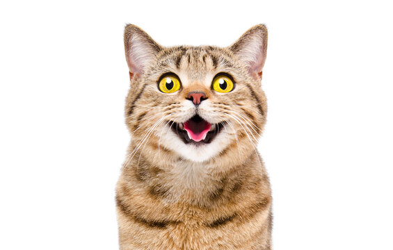 Portrait of a happy smiling cat Scottish Straight, closeup, isolated on white background