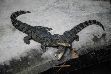 Two crocodiles are getting ready to eat in the aquarium. They are near water.