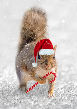 Squirrel Santa. Cute squirrel with a Christmas hat and a tiny candy cane in the snow. Animal fun holiday greeting card.