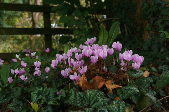 Ivy Leaved Cyclamen latin name Cyclamen hederifolium growing wild in a British hedgerow
