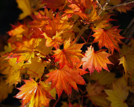Acer Shirasawanum Aureum in autumn colour