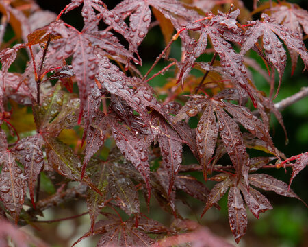 Raindrops on acer japanese maple leaves
