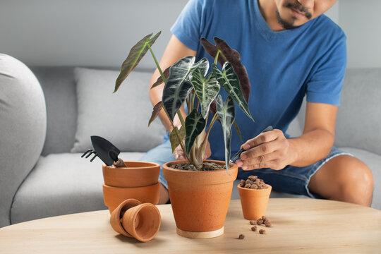 Men gardeners hand transplanting alocasia bambino arrow or alocasia sanderiana bull in clay pot on the wooden table. Concept of home garden.