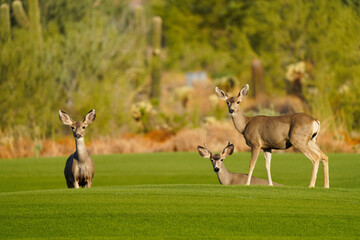 Mule Deer or Black-tailed deer family