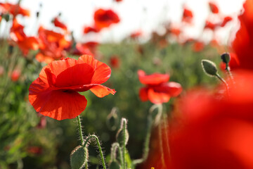 Beautiful blooming poppy flower in field on spring day. Space for text