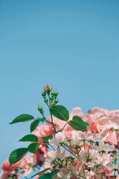 Pink rose growing toward the blue sky -Processed with VSCO with q7 preset