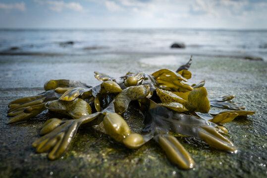 Seaweed at the beach of Wilhelmshaven