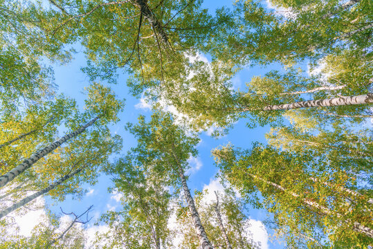 View from below on the crowns of birch trees with young greenery against