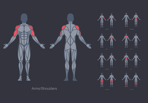 Human muscles anatomy model vector design template