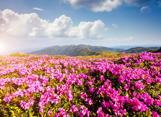 Wall Mural - Awesome pink rhododendron flowers in summer alpine valley.