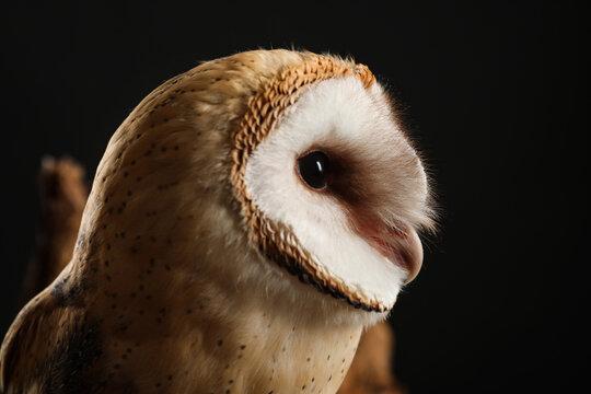 Beautiful common barn owl on black background, closeup