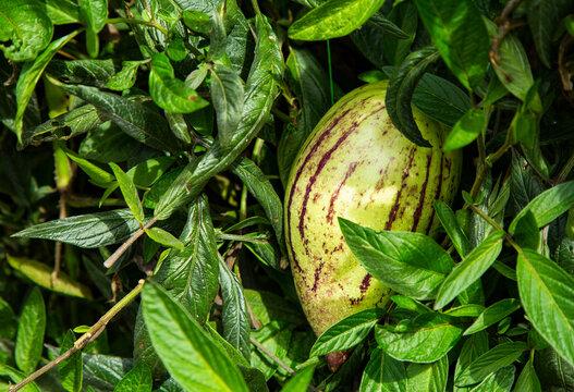 Solanum muricatum tropical exotic fruit from South America
