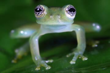 glass frog sitting on a green leaf