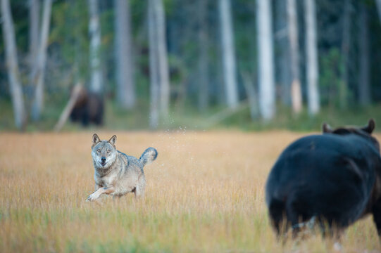 Wolf and brown bear together