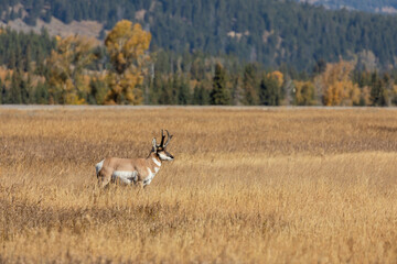 Pronghorn Antelope Buck in Fall in Wyoming