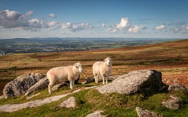Sheep on Staple Tors Dartmoor
