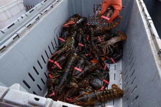 Lobsters sit in a crate aboard an Indigenous lobster fishing boat in Meteghan River,